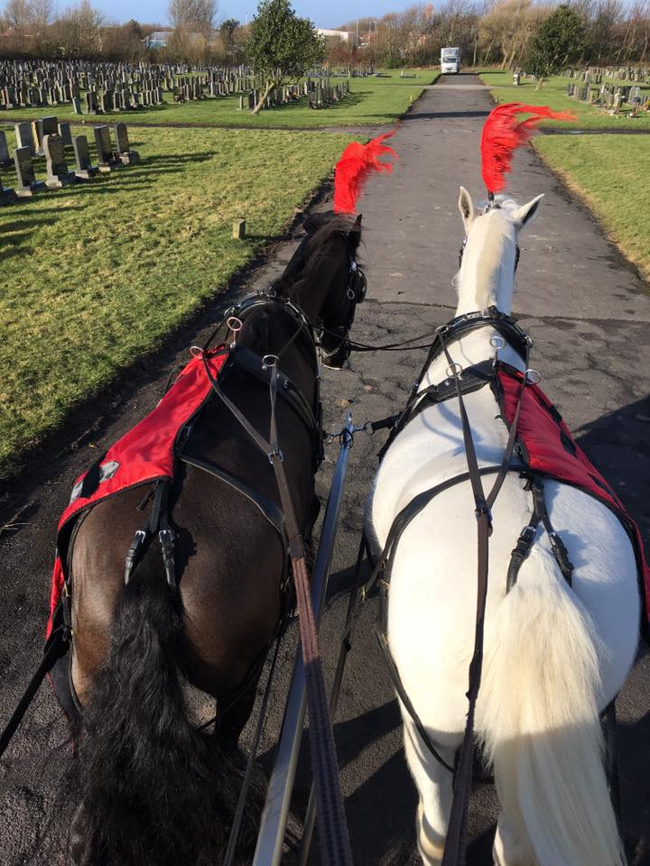 domino pair wuth red plumes and drapes on a horse drawn funeral