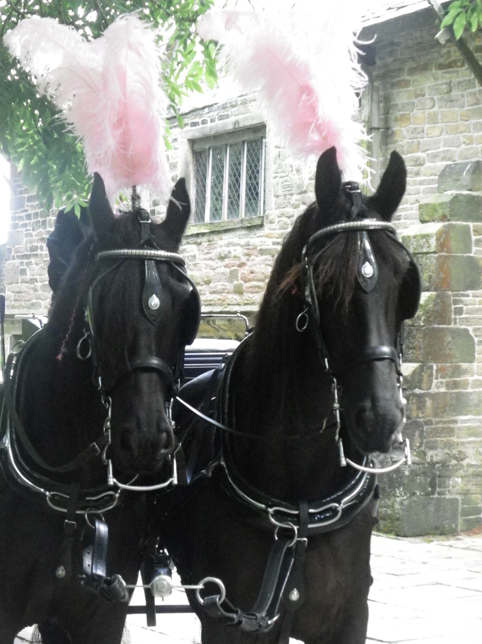 pair of black horses with baby pink plumes on a horse drawn funeral