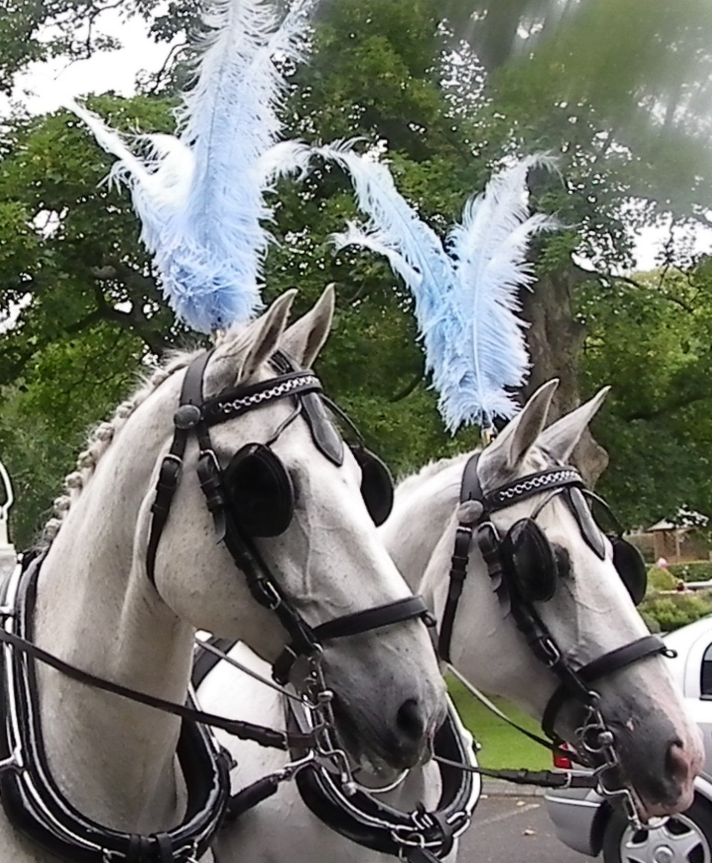 close up view of two white horses with baby blue plumes