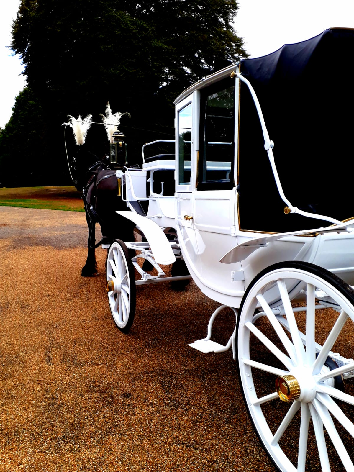 horse drawn white landau with the roof up, with black horses, very popular for proms