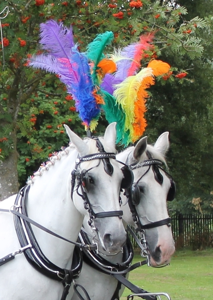 Rainbow plumes for a horse drawn funeral