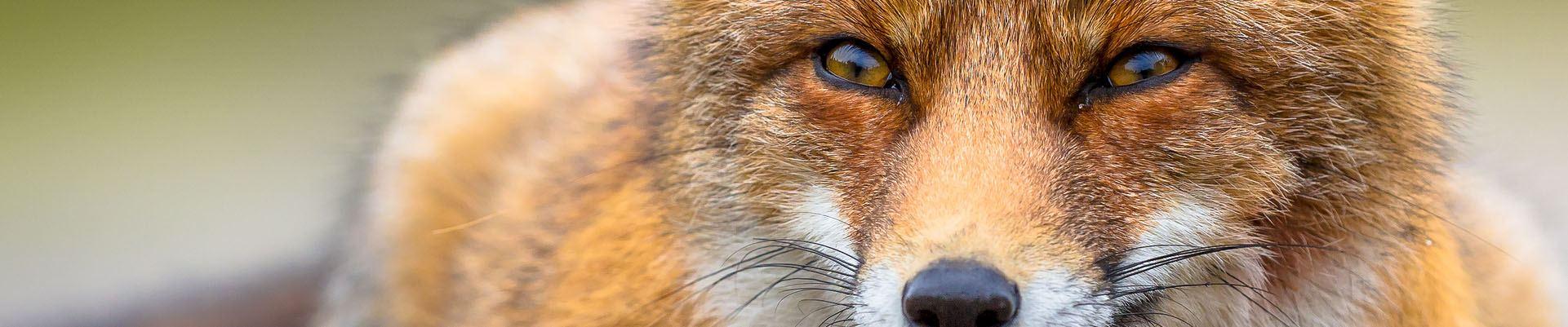 Fox Management in Hampshire