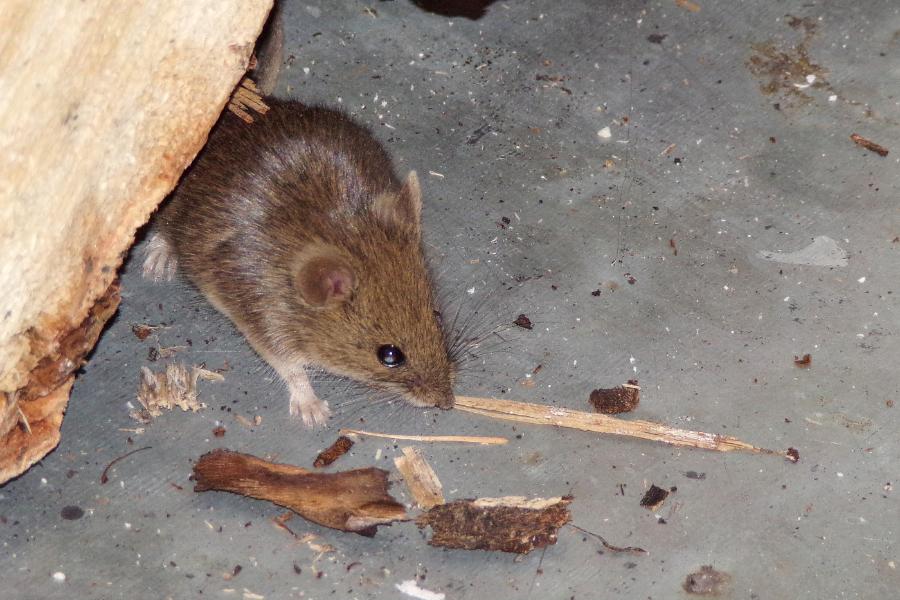mouse pest control Basingstoke, Surrey, Hampshire
