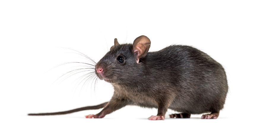 Rat control and prevention in Basingstoke