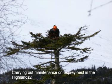 osprey nest maintenance