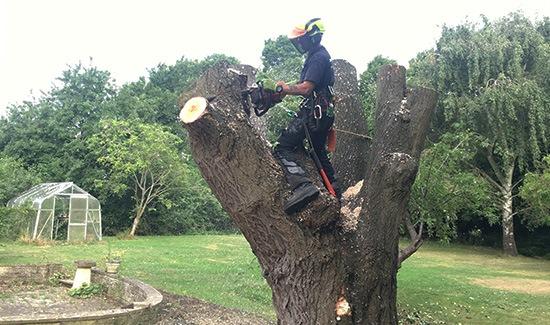 tree surgeon removing a large tree