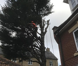 tree surgeon pruning a large tree