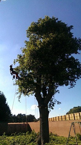 tree surgeon carrying out crown reduction