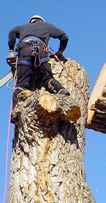 arborist dismantling tree