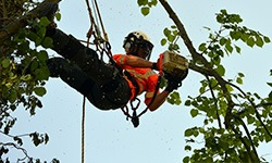 tree surgeon on ropes cutting branch